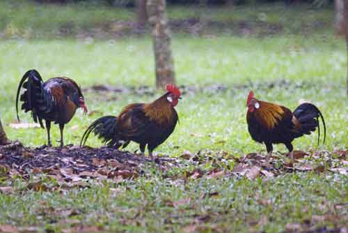 3 red junglefowl males-AsiaPhotoStock
