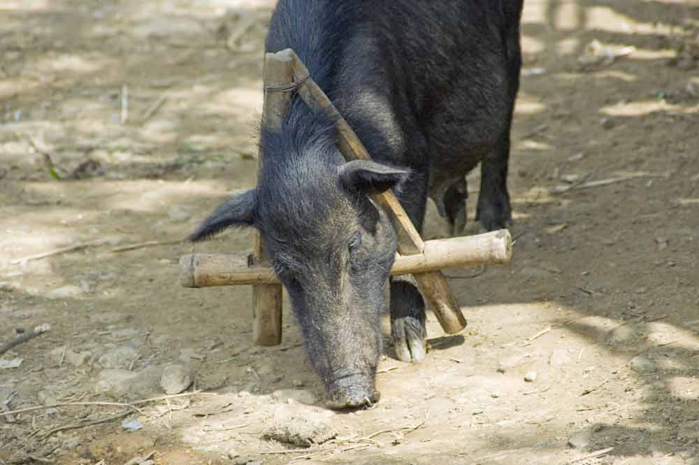 pig with brace-AsiaPhotoStock