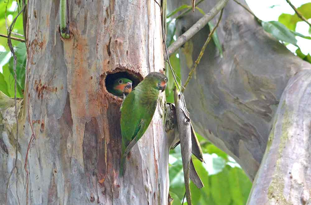 mother and baby parakeet-AsiaPhotoStock