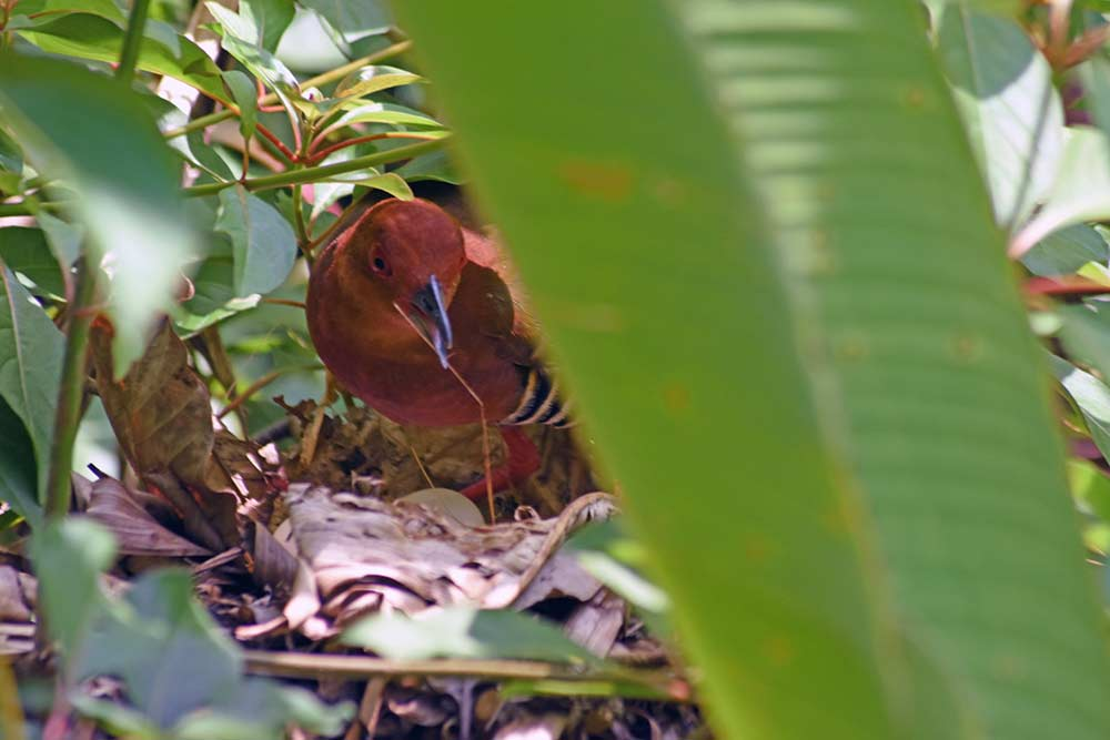 crake on nest with eggs-AsiaPhotoStock