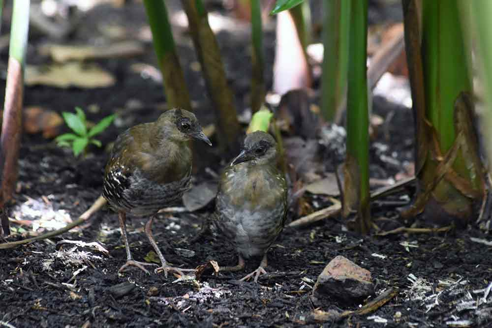 juvenile red lake crakes-AsiaPhotoStock