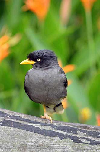one legged javan mynah-AsiaPhotoStock