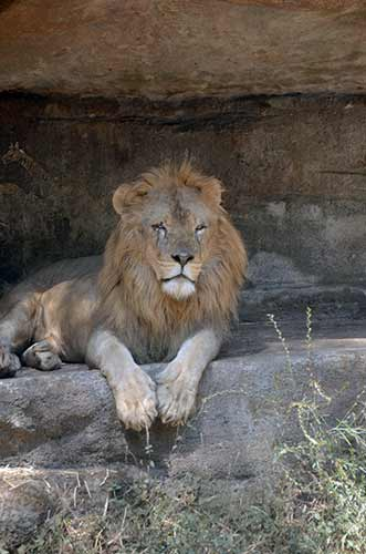african lion-AsiaPhotoStock