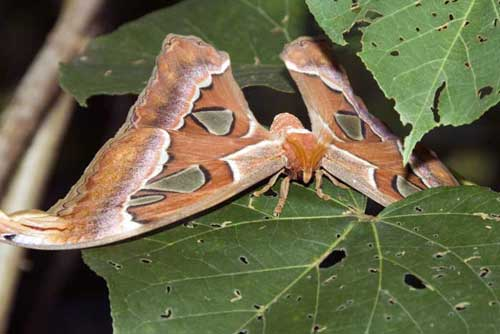 atlas moth singapore-AsiaPhotoStock