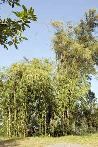 bamboo cluster-AsiaPhotoStock