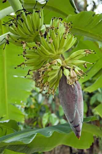 bananas on tree-AsiaPhotoStock