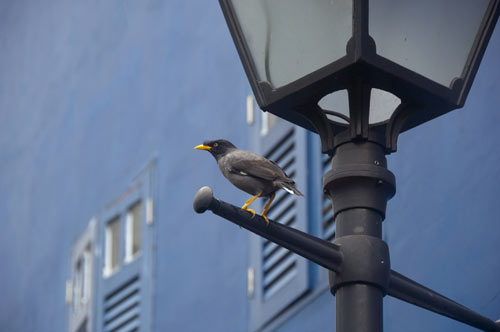 mynah bird blue wall-AsiaPhotoStock