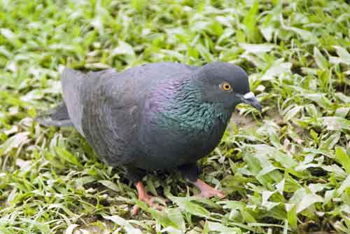 black rock pigeon-AsiaPhotoStock