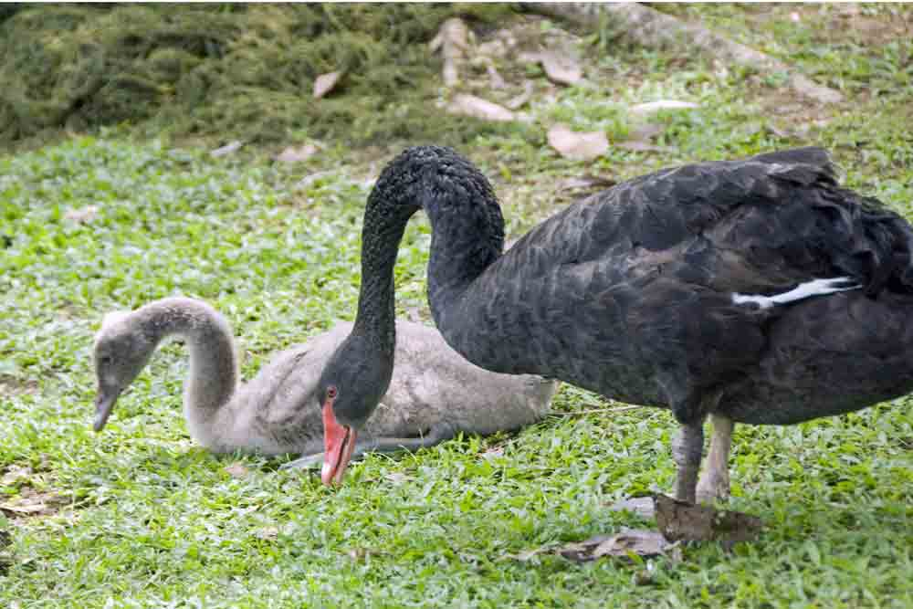black swan and sygnet-AsiaPhotoStock