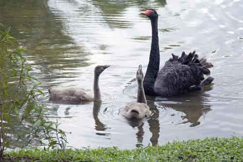 black swan and sygnets-AsiaPhotoStock