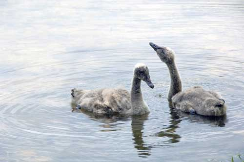 sygnets of black swans-AsiaPhotoStock
