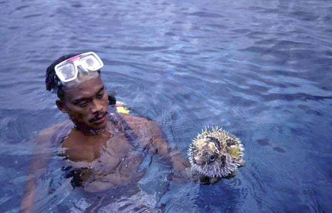 blow fish-AsiaPhotoStock