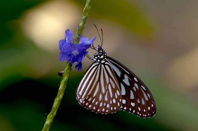 blue glassy tiger butterfly-AsiaPhotoStock