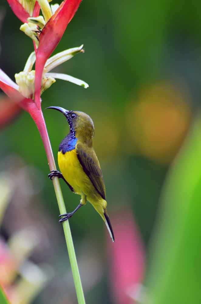 bright blue sunbird-AsiaPhotoStock