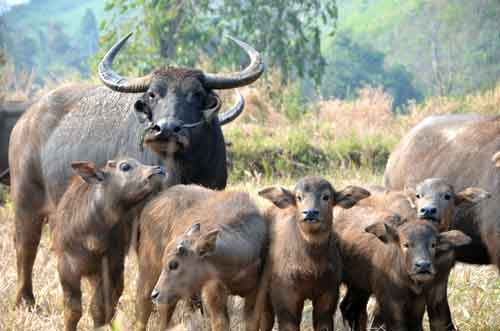 water buffalo family-AsiaPhotoStock