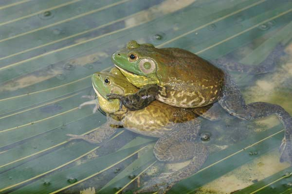 mating bull frogs-AsiaPhotoStock