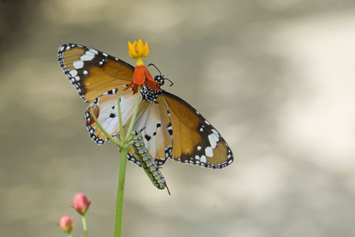 butterfly and caterpillar-AsiaPhotoStock