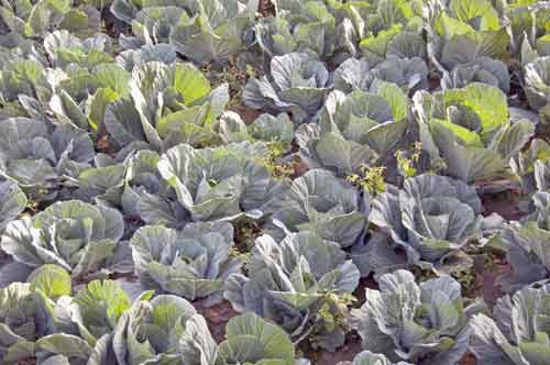 cabbages-AsiaPhotoStock
