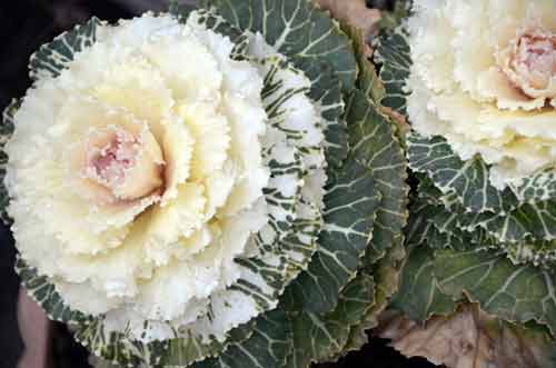 cabbage flower-AsiaPhotoStock