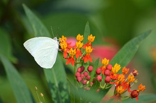 cabbage white-AsiaPhotoStock