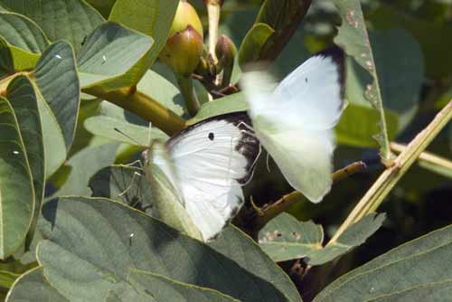 cabbage whites-AsiaPhotoStock