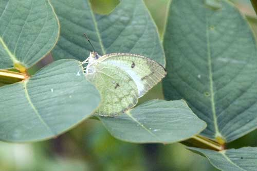 cabbage white butterfly-AsiaPhotoStock