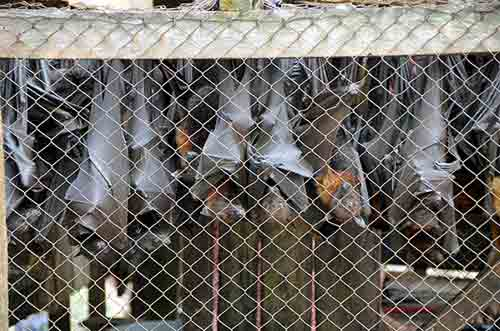 caged bats-AsiaPhotoStock