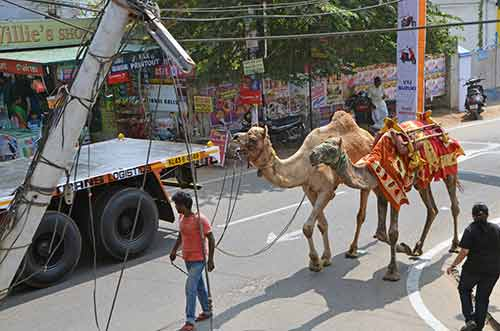 camels cochin-AsiaPhotoStock