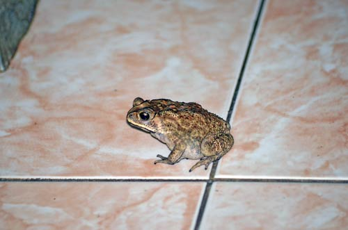 cane toad-AsiaPhotoStock