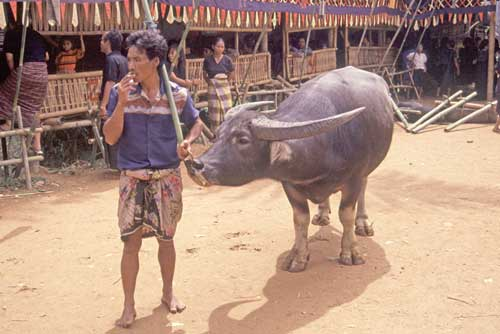 carabao at funeral-AsiaPhotoStock