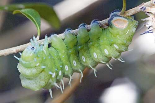 green caterpillar-AsiaPhotoStock
