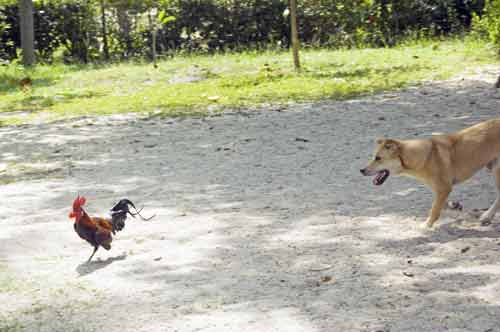 dog and chicken-AsiaPhotoStock