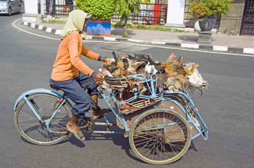 chickens on becak-AsiaPhotoStock