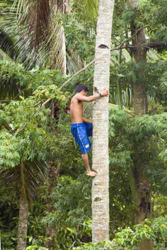 coconut tree climber-AsiaPhotoStock