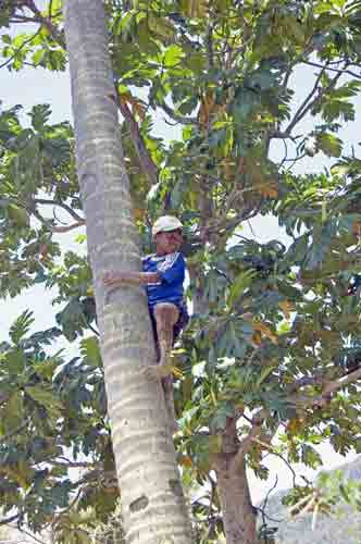 climbing coconut tree-AsiaPhotoStock