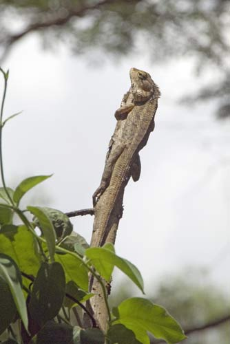 hanging on lizard-AsiaPhotoStock