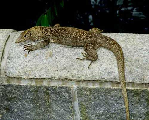 clouded monitor lizard-AsiaPhotoStock
