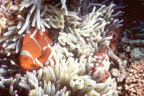 red clown fish-AsiaPhotoStock