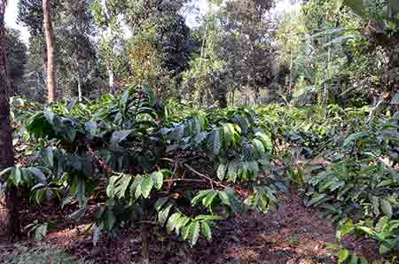 coffee plants kerala-AsiaPhotoStock