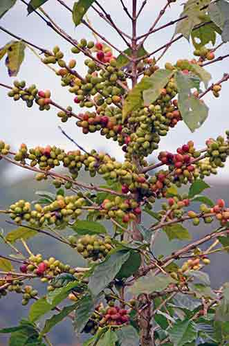 coffee tree lake toba-AsiaPhotoStock