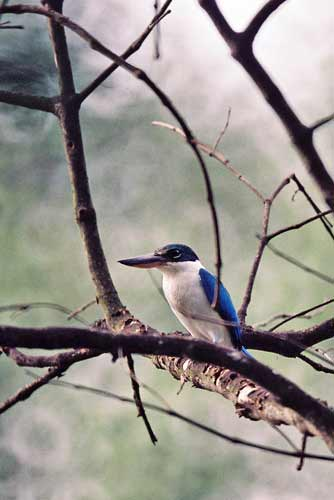 collared kingfisher-AsiaPhotoStock