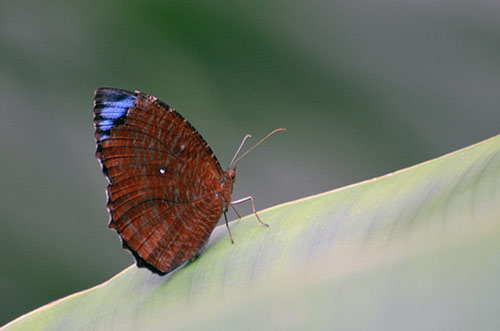 common palmfly singapore-AsiaPhotoStock