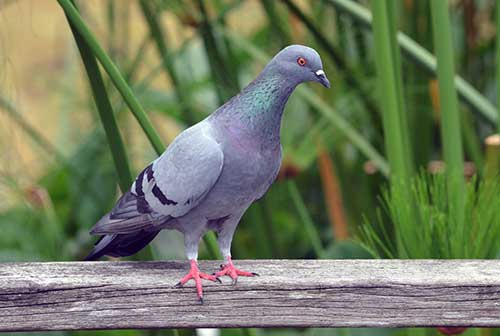 common pigeon-AsiaPhotoStock