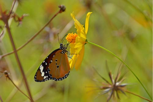 plain tiger butterfly-AsiaPhotoStock