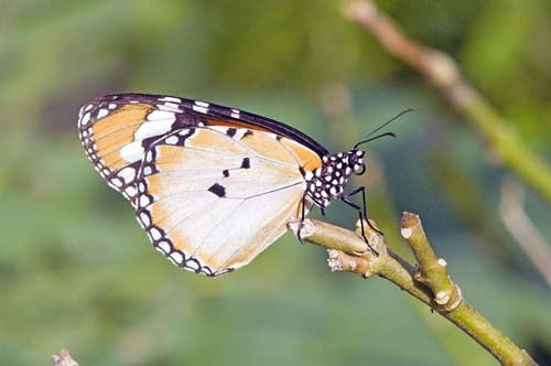 common tiger butterfly-AsiaPhotoStock
