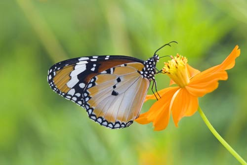 tiger butterfly on flower-AsiaPhotoStock