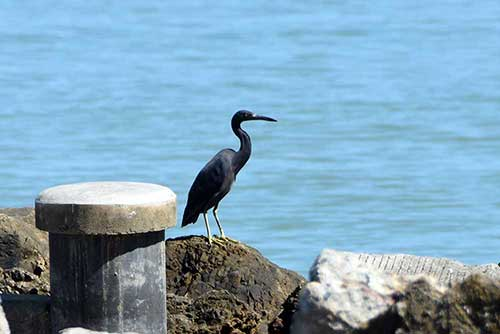 black cormorant-asia photo stock