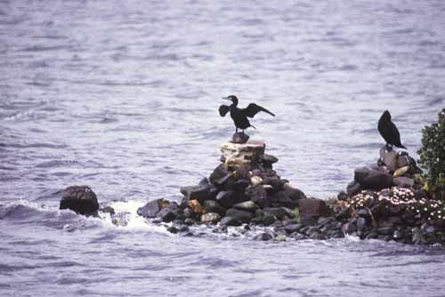cormorant on rock-AsiaPhotoStock