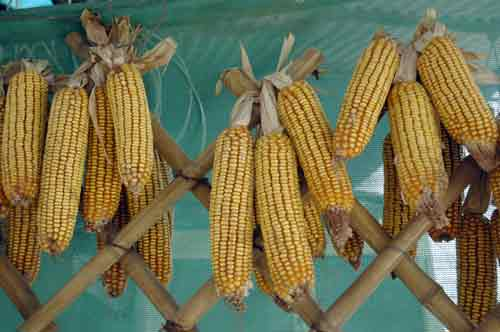corn on the cob-AsiaPhotoStock