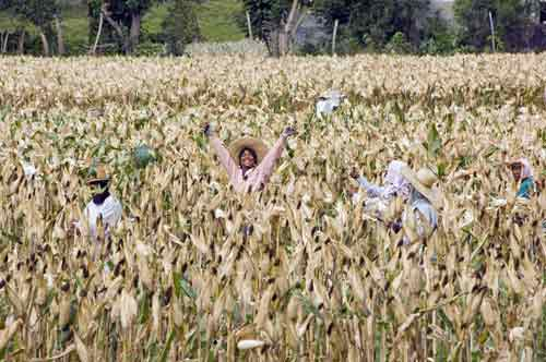 sweet corn harvest-AsiaPhotoStock